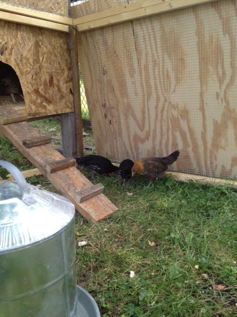 chickens20120528.jpg